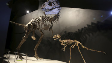Dinosaur skeletons from the T-Rex exhibition at the reopened Australian Museum.