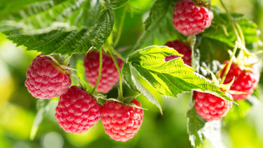 Low yielding raspberries are one of a number of issues hitting Costa Group.