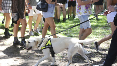 A police sniffer dog used to search for drugs at Field Day music festival in Sydney on New Year's Day this year.