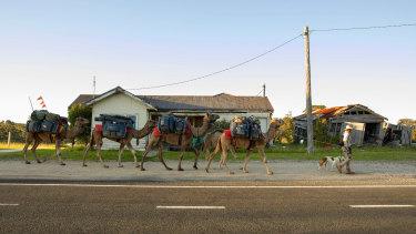 John Elliott and his camel train saunter along the Princes Highway through Kalimna.
