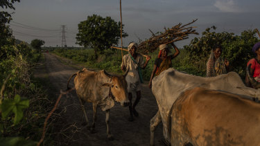 A man escorts his herd of cattle back from grazing in the Pandharkawada area of India. The herders are coming home earlier to avoid the tigers.