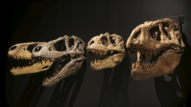 The Tyrannosaur - Meet the Family exhibit has been a major drawcard for the Australian Museum.