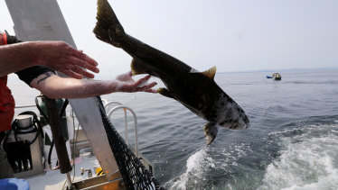 Young Chinook salmon will again be taken by truck to the Pacific Ocean.