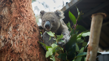The failed koala planning policy will now go back to the drawing board.