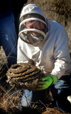 Phil Spradbery digs up a European wasp nest.