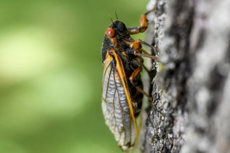"""Some gourmands have taken to calling cicadas """"the other white meat"""" – or """"tree shrimp"""" because of their genetic closeness to the crustacean."""