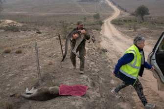 Animal rescuer Marcus Fillinger carries a bushfire-burned kangaroo on February 4 at Peak View in NSW. The dart gun specialist had tranquilised the wounded animal near a fire-scorched a reserve for transport to the Possumwood Wildlife recovery centre, run by Rosemary Austen (right).