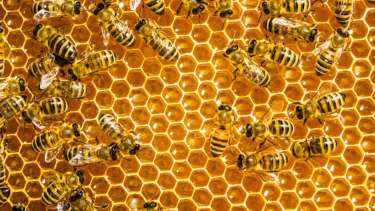 Busy bees' 'alarm clock' recorded for the first time