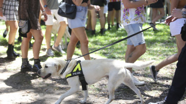 A police sniffer dog used to search for drugs at a Sydney music festival.