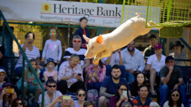 The Ekka's flying pigs have become a major attraction.