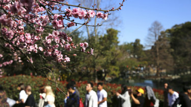 Crowds enjoy Spring-like conditions at the Cherry Blossom festival in Auburn Botanic Gardens.