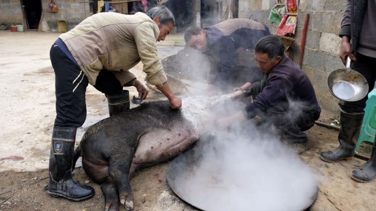 Farmers in Shanqiao Village of Zhaotong City in southwestern province Yunnan slaghtering pigs to get ready for Chinese Spring Festival on November 22.