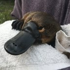 A report has found that there is a threat of platypus extinction under increasingly intense drought conditions.