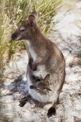 A female Tasmanian pademelon with a joey in her pouch.