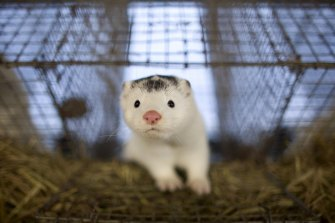 Dutch authorities have demanded a cull of thousands of minks at farms due to the spread of coronavirus. Pictured: a mink at a farm in Harbin, China.