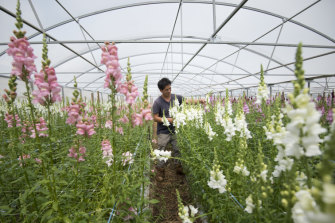 Alex Doan from Sydney Flowers Express, pictured with his crop of Snapdragons, says he loves the independence of farming.