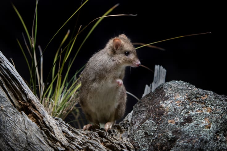 A bettong, one of several nocturnal critters you could spot at Mulligans Flat Woodland Sanctuary.