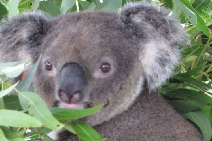 The original subject for the research on the koala genome: Pacific Chocolate.