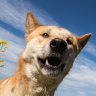 'Your dingo ate my diaphragm': a native dog tale – and other suburban stories