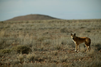The proposal to reintroduce dingoes into the Grampians National Park has been fiercely opposed by local farmers.