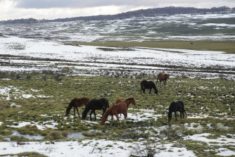 Horse trapping in Kosciuszko National Park is expected to begin in the coming weeks.