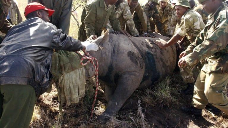Kenya Wildlife Services wardens hold a 30-year-old female black rhino in Nairobi in 2005.