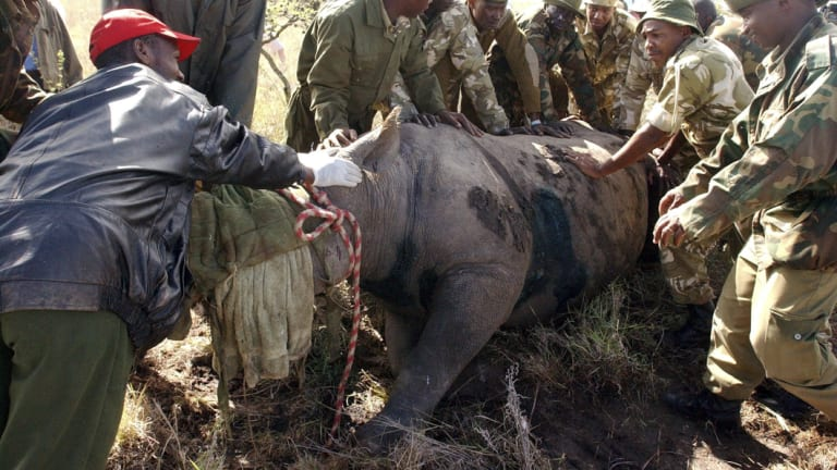 Kenya Wildlife Services wardens hold a 30-year-old female black rhino in Nairobi in 2005.