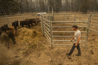 Cattle farmer John Wright tends to some of his heifers on his property in Kangaroo Valley.
