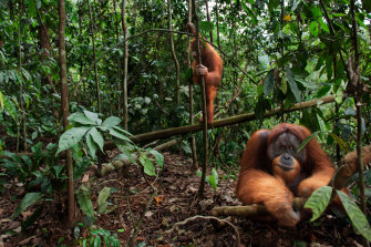 Orang-utans live in Indonesia's Gunung Leuser National Park, a biodiversity hotspot in the tropics.