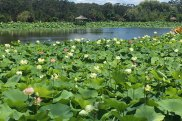 An assortment of different lotus on Lotus Lake