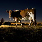 Are cows discombobulated by daylight saving?