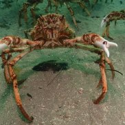 They're here. An army of spider crabs, sometimes the size of a football field, is on the march in Melbourne's Port Phillip Bay. The creepy crustaceans are scurrying into shallow waters en masse for their annual shell-shedding soiree.