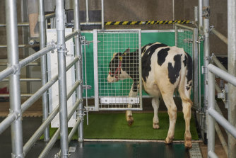 """A calf enters an astroturf-covered pen nicknamed """"MooLoo"""" to urinate in Germany."""