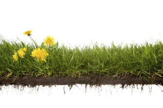 Dandelions do well in compacted soil.