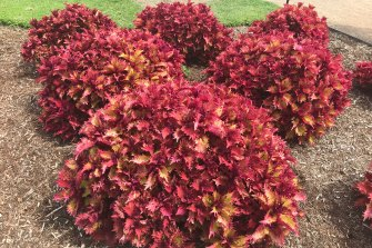 Coleus Henna, a popular plant.