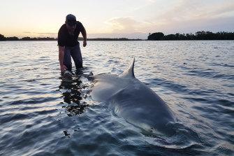 Shark fisherman Adam Maddalena releases a big bullshark caught on a rod and reel.