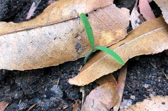 One of the first Wollemi pine seedlings to emerge after the fires.