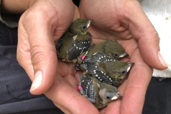 A clutch of pardolote chicks easily fit into human hands.
