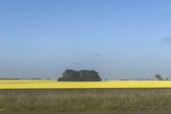 Canola in a field in western Victoria this week.
