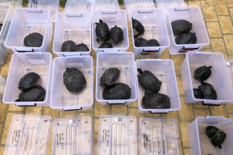 Some of the 90 red-eared slider turtles seized in a raid on a property in Sydney's south west last year.