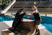 Taronga Zoo during Coronavirus COVID-19 lockdown. Whilst Greater Sydney remains in lockdown due to an outbreak of the Delta strain, zookeepers at Taronga Zoo continue to train the wildlife that perform and educate throughout the zoo. Photograph shows Marine mammal keeper Adrienne Van Gogh with Bondi - a Long Nose Fur Seal also known as a New Zealand Fur Seal. Photographed Thursday 29th July 2021 Photograph by James Brickwood. SMH NEWS 210729.