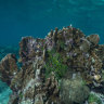 Hope for 'coral candy' algae to give Great Barrier Reef a sugar hit