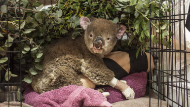 An injured koala, nicknamed Princess Fiona, has been treated at the Mallacoota triage centre for  burns to her face and paws.