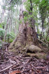 Environmentalists say VicForests plans to log this tree in the Errinundra plateau.