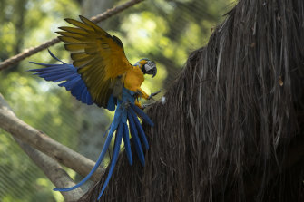 A macaw flies inside an enclosure at BioParque, in Rio de Janeiro. Macaws are used to flying great distances, more than 30 kilometres a day.