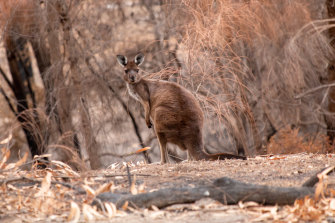 A kangaroo that survived the fires in Lathami Conservation Park on Kangaroo Island.
