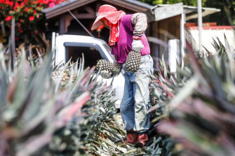 Japanese demand offset China's ban on Taiwanese pineapples.