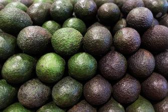 Avocado harvest is currently underway in Queensland.