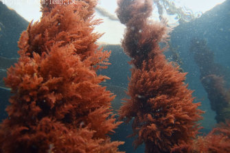 The asparagopsis seaweed being grown on converted mussel leases at Triabunna, Tasmania