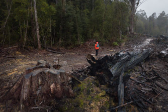 Bob Brown Foundation campaigner Jenny Weber in a logging coupe in the Huon Valley, Tasmania. The area of old-growth forest next to it, which is typical swift parrot habitat, is due to be logged soon.
